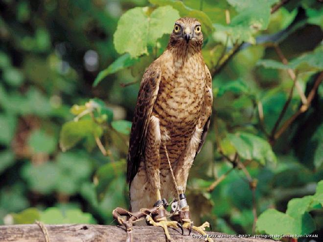 Falcon in Arhavi, Artvin